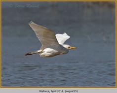 cattle-egret-35.jpg