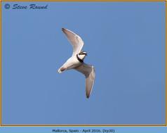 little-ringed-plover-30.jpg