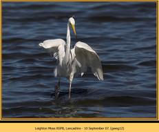 great-white-egret-12.jpg
