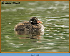 little-grebe-12.jpg