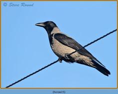 hooded-crow-15.jpg