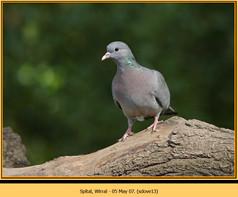 stock-dove-13.jpg
