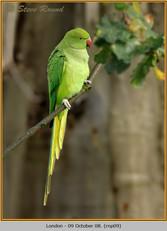ring-necked-parakeet-09.jpg