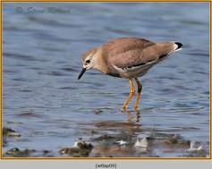 white-tailed-lapwing-09.jpg