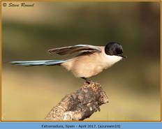 azure-winged-magpie-10.jpg