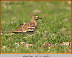 stone-curlew-20.jpg