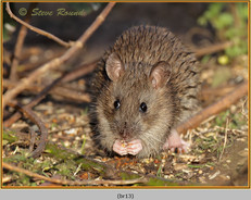 brown-rat-13.jpg