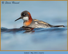 red-necked-phalarope-21.jpg