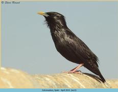 spotless-starling-13.jpg