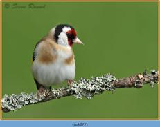 goldfinch-77.jpg