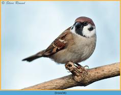 tree-sparrow-58.jpg