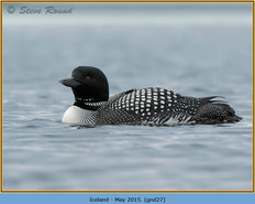 great-northern-diver-27.jpg