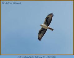 bonelli's-eagle-01.jpg
