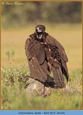 black-vulture-19.jpg