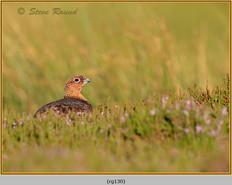 red-grouse-130.jpg