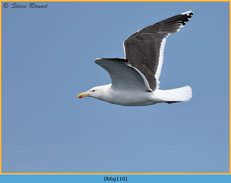 lesser-black-backed-gull-110.jpg