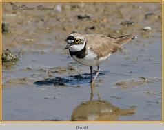 little-ringed-plover-10.jpg
