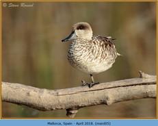 marbled-duck-05.jpg