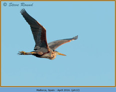 purple-heron-12.jpg