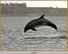 bottlenose-dolphin-05.jpg