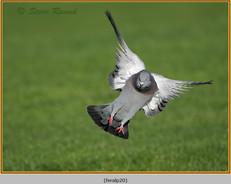 feral-pigeon-20.jpg