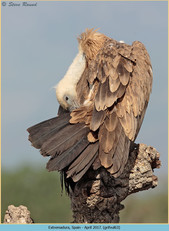 griffon-vulture-63.jpg