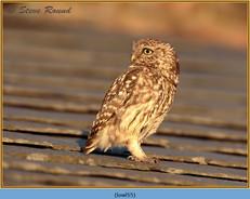 little-owl-55.jpg