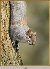 grey-squirrel-23.jpg