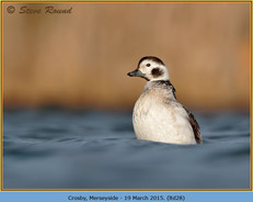 long-tailed-duck-28.jpg