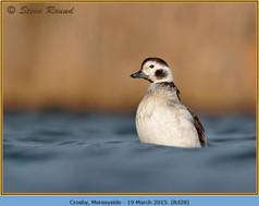 long-tailed-duck-28.jpg