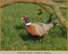 pheasant-10.jpg