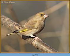 greenfinch-99.jpg