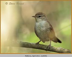 cettis-warbler-09.jpg