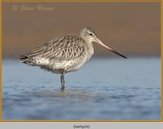 bar-tailed-godwit-16.jpg