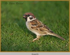 tree-sparrow-19.jpg