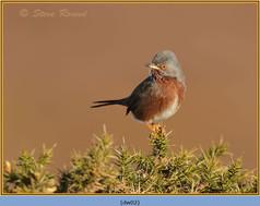 dartford-warbler-02.jpg