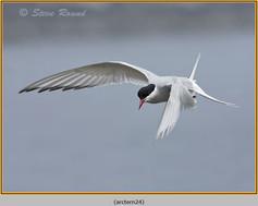 arctic-tern-24.jpg