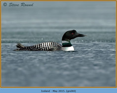 great-northern-diver-44.jpg