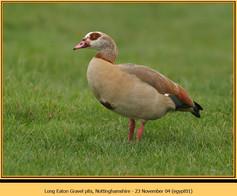 egyptian-goose-01.jpg