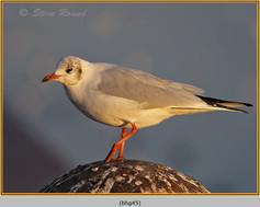 black-headed-gull-45.jpg