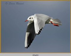 black-headed-gull-46.jpg