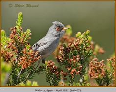 Balearic-warbler-02.jpg