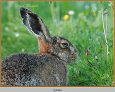 brown-hare-60.jpg