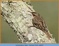 short-toed-treecreeper-05.jpg