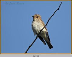 spotted-flycatcher-18.jpg