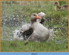 greylag-goose-31.jpg