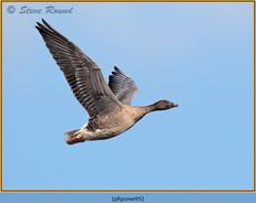 pink-footed-goose-95.jpg