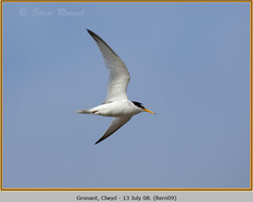 little-tern-09.jpg