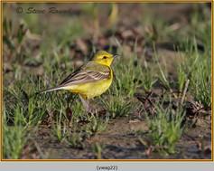 yellow-wagtail-22.jpg