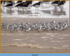 sanderling-47.jpg